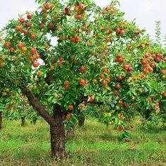 elma ağacı.