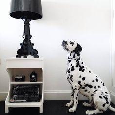 Dalmata mirando la lámpara Bourgie de Kartell   Disponible en Manuel Lucas Muebles, Elche   Gracias a @juncalroig via Instagram
