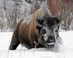 Bison in the snow (Photo by: Dave Stiles) Beautiful Creatures, Animals Beautiful, Cute Animals, Wild Animals, Unique Animals, American Bison, Native American Art, Buffalo Painting, Musk Ox
