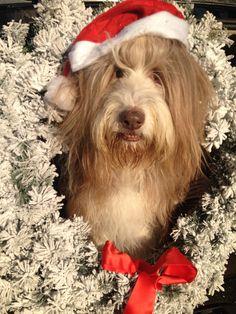 Christmas Bearded Collie