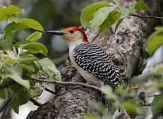 Red-bellied woodpeckers are known for their striking black and white barred backs and their gleaming red caps.
