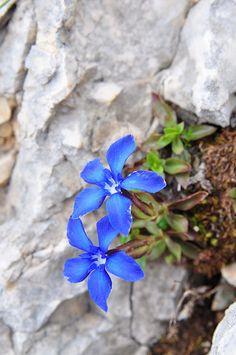 GENTIANA ORBICULARIS (Genziana di Favrat. Rundblättriger Enzian. Gentiane à feuilles orbiculaires. Okroglolistni svišč). Gentianaceae | by apollonio&battista