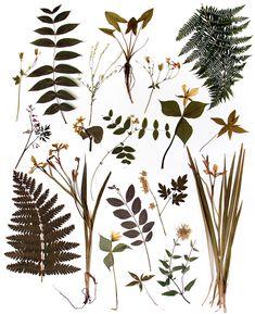 pressed botanicals (mary jo hoffman)