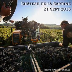 #harvest continuining on our beautiful #syrah ! - Les #vendanges continuent sur nos magnifiques #Syrah - #ChateauneufDuPape #Rhone #harvest15 #vendanges2015 Photo @barralm