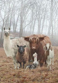 It's a menagerie! Group Shot - Llama, sheep, Scottish highland cow, goat, and Polish chicken