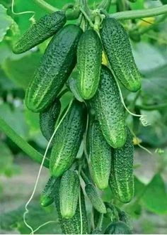 8 Cucumber Health Benefits and Properties – Page 2 – Viraloy Fruit Garden, Edible Garden, Vegetable Garden, Gardening For Beginners, Gardening Tips, Cucumber Health Benefits, Summer House Garden, Exotic Fruit, Garden Trellis