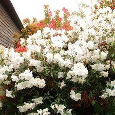 Arbuste d'ombre : 10 variétés indispensables au jardin - Promesse de Fleurs Hydrangea Macrophylla, Aucuba Japonica, Geranium Vivace, Rhododendron, Plantation, Backyard, Plants, Culture, Gardens