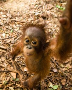 International Orangutan Day - 19 August 2014 | International Animal Rescue