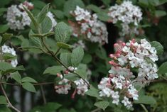 """koreanspice viburnum, v. carlesii (WOODY PLANT EXPERT MICHAEL DIRR writes in his book """"Viburnums"""" that the fragrance of the Koreanspice viburnum, Viburnum carlesii, """"actually reaches out and engulfs passersby,"""")"""