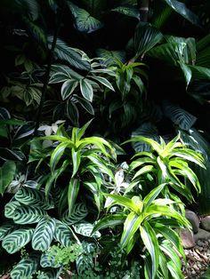 Tropical Garden,Calathea's, Dracaena's,variegated ginger