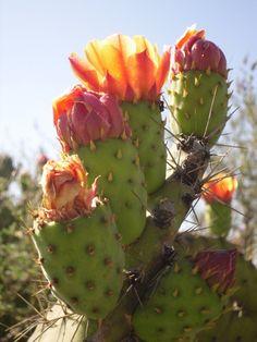 Al nopal, no solo cuando tiene tunas.... Mexican cactus.