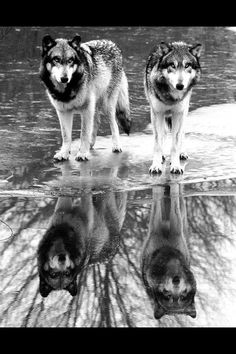 Wolves reflected