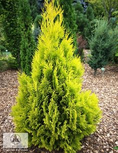 Botanical name: Thuja plicata 'Forever Goldie' Common name: 'Forever Goldie' arborvitae (syn. '4Ever Goldy' arborvitae ) USDA zones: 3 to 7 (find your zone) Water requirement: Average, well drained soil Light requirement: Full sun Mature size: 15 to 20 feet tall and 3 feet wide Benefits and tolerances: Scorch resistant in full sun; compact growth; does not shed Seasonal interest: Year-round Small Yard Landscaping, Landscaping Trees, Privacy Landscaping, Arborvitae Landscaping, Landscape Plans, Landscape Design, Garden Design, House Landscape, Contemporary Landscape