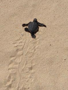 今朝孵化したアオウミガメの赤ちゃん。一生懸命に海に向かって歩いていた。海までたどり着いたのを見届けたけど、子どもたちの集団に踏みつぶされてないといいんだけど。