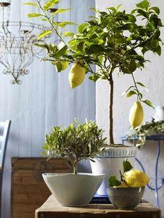 Limonero, decoración, interiores, plantas