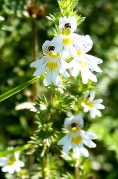 Planta Care Curăță și Limpezește Ochii și Întărește Vederea | LaTAIFAS Medicinal Herbs, Kraut, Natural Remedies, Herbalism, Flora, Health Fitness, Nature, Instagram, Cancer