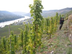 """Vineyard J.J. Prüm at Mosel Germany - a favorite German saying """"No grape will grow where a plow will go"""" - therefore all work is done by hand!"""