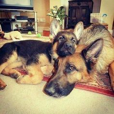 My favorite breed need I say more.