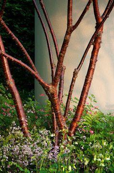 Flerstammigt glanskörsbär, Prunus serrula. Med många stammar kommer verkligen barken till sin rätt.