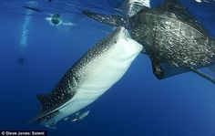 A whale shark takes a snack from a fishing net. Small nets help share the Ocean`s supply of fish with the natural predators.