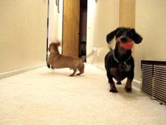 Dachshunds Playing Ball - YouTube. Omg, the way they throw the balls back is crazy cute!