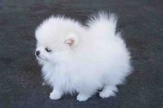 Teacup Pomeranian Puppies WANT SO BAD!!!! so adorable