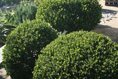 Fiona Brockhoff Design » Favourite coastal plants for south eastern Victoria -Alyxia Buxifolia