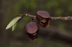Asimina triloba (Pawpaw) -- Annonaceae | Indiana Dunes State… | Flickr - Photo Sharing!