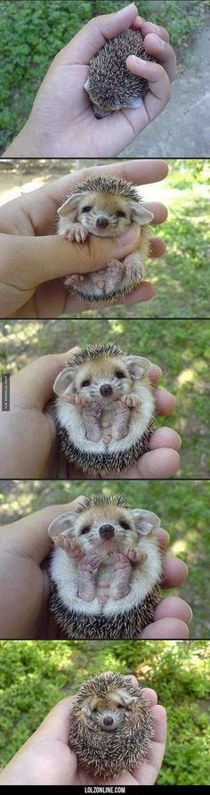 I Need This Baby Hedgehog In My Life #lol