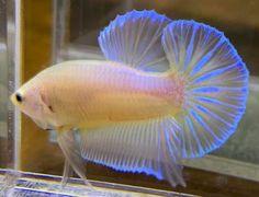 Pretty Fish, Beautiful Fish, Colorful Fish, Tropical Fish, Aquariums, Betta Fish Types, Betta Aquarium, Cute Reptiles, Beta Fish