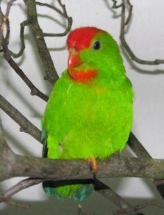 Birds Parrots Philippine Hanging-Parrot (Loriculus philippensis) loriculus p. apicalis, male,