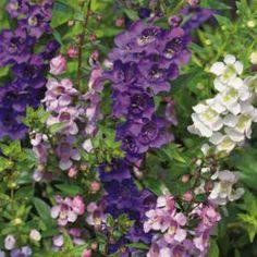 Angelonia mix FloraciónJunio - Octobre ColorMixto IluminaciónSoleado Altura30 - 60 cm RiegoHúmedo CategoríaAnuales & Bianuales