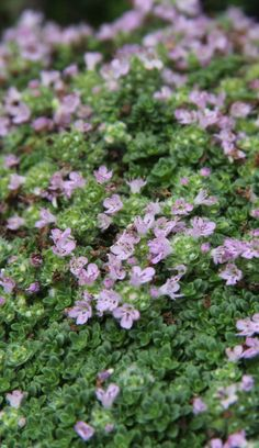 Flowering #thyme: a lovely carpet of tiny pink #flowers! #Nature #summertime #Agricola