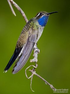 Blue-throated Hummingbird | Lampornis clemenciae. Taken at t… | Flickr