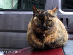 Kagamimochi cat(22.1.2011)