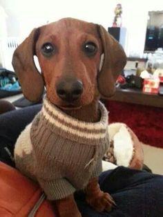 I love my sweater! ! #dachshund #teckel #doxie