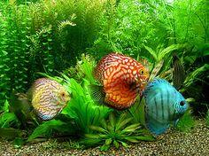 Ocean World Aquarium - Discus; freshwater fish- I want these one day! 55 Gallon Aquarium, Discus Aquarium, Diy Aquarium, Discus Fish, Freshwater Aquarium Fish, Tropical Aquarium, Planted Aquarium, Tropical Fish, Discus Tank