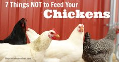 what not to feed chickens-avacados, chocolate/candy, citrus, green potato peels, dry beans, junk/processed food, moldy/rotten food