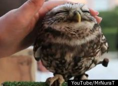 Omg....that is the cutest thing, I didn't know owls were even like that. Watch the video, soooo cute