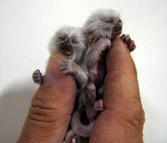baby pygmy marmosets, oh my lord are these real!? I want one!