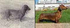 "Dachshund You'll Be Amazed How The Breed Of Dogs ""Improves"" Over 100 Years Feel Good Stories, Popular Dog Breeds, Crazy Dog Lady, Purebred Dogs, Animal Welfare, Monster, Long Legs, All Dogs, Doge"