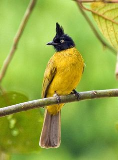 Black-crested Bulbul: Indian Subcontinent to southeast Asia