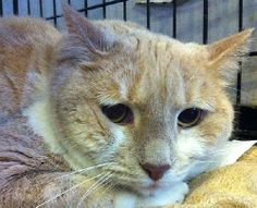 Meet Buff a Petfinder adoptable Tabby Cat | Hudson, NY | This is a big boy who is very sweet and docile. He has lived with other cats and gets along with...