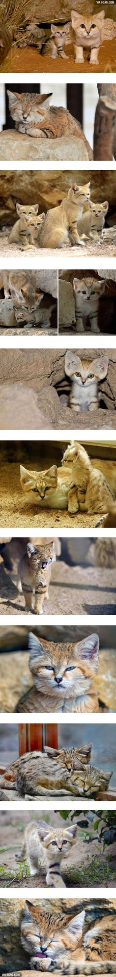 Sand Cats Probably The Cutest Cats Ever! - http://www.facebook.com/viralpx