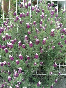 Lavender peeping through the chickenwire fence ... my favourite