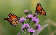 Northbrook IL working to save monarchs