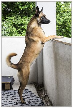 Belgian Malinois Polani © MAFpet Photography