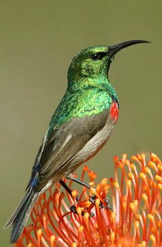 Southern Double-collared Sunbird (Cinnyris chalybeus). A nectar-eater of southern South Africa. photo: Ingo Waschkies.
