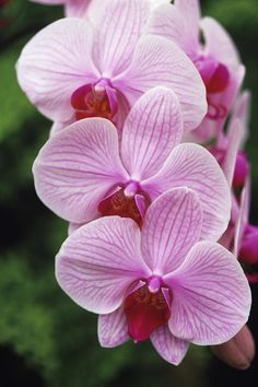Orchid Flowers-these butterfly orchids are my favorite. i had white ones in my bridal bouquet