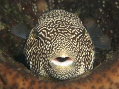 'Pufferfish in the Banda Sea, Indonesia' taken by our company founder, Tim Simond, who has just stepped off the boat out there!